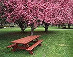 Crab Apple Trees in Full Bloom with Picnic Table, Heritage Park,  Hinsdale, NH
