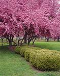 Crab Apple Trees in Full Bloom with American Yew Hedge, Heritage Park, Hinsdale, NH