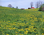 Meadow of Dandelions on Rural Farmland, Hartford, NY