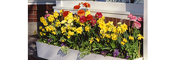 Close-up of Daffodils and Colorful Flowers in Window Box, Daffodil Festival, Nantucket Island, Nantucket, MA