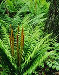 Cinnamon Ferns (Osmunda cinnamomea), Athol, MA