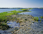 Seashells and Marsh Grasses on Shoreline of Hog Island, Narragansett Bay, Portsmouth, RI
