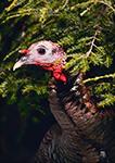 Wild Turkey in Hemlock Tree (Melleagris gallopavo), Rindge, NH Original: 35mm. color slide