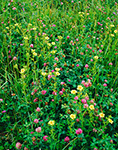 Rough-fruited Cinquefoil (Potentilla recta) and Red Clover (Trifolium pratense) in Abandoned Field, Athol, MA