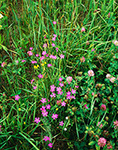 Maiden Pinks (Dianthus deltoides) in Abandoned Field, Athol, MA