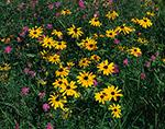 Black-eyed Susans (Rudbeckia hirta) and Spotted Knapweed (Centaurea jacea), Adirondack Park, Minerva, NY