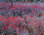Winterberry and Cattails in Frost, New Salem, MA