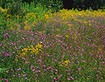 Field of Goldenrods and Spotted Knapweed (Centaurea jacea), High Peaks Area, Adirondack Park, Newcomb, NY