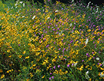 Array of Wildflowers in Field during Rainstorm, Adirondack Park, Lake Pleasant, NY