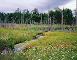 Wildflowers in Wetland with Old Snags, Windfall Brook, Adirondack Park, Colton, NY
