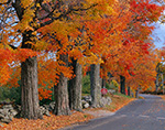 Sugar Maples along Country Road in Fall at Red Apple Farm,  Phillipston, MA