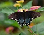Spicebush Swallowtail (Papilio troilus), Butterfly Place, Westford, MA
