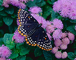 Baltimore Checkerspot (Euphdryas phaeton) on Ageratum