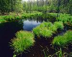 Tussock Sedge (Carex stricta) in Spring, Natchaug State Forest,  Eastford, CT