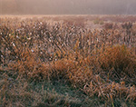 Ground Fog over Meadow of Milkweed Pods in Late Fall, Templeton, MA
