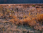 Light Frost on Grasses and Milkweed Pods in Meadow in Late Fall, Templeton, MA