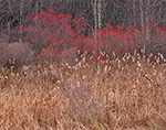 Winterberry/Black Alder (Ilex verticillata) in Cattail Swamp Late Fall,  New Salem, MA 