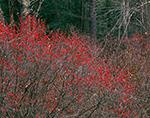 Winterberry/Black Alder (Ilex verticillata) in Late Fall, Quabbin Reservation, New Salem, MA