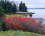 Winterberry/Black Alder (Ilex verticillata) in Late Fall with Pier in Background, Western Shore of Islesboro Island, Islesboro, ME