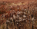 Goldenrods (Solidago spp.) Gone to Seed in Late Fall, Islesboro Island, Islesboro, ME
