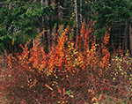 Japanese Barberry (Berberis thunbergii) in Late Fall, Islesboro Island, Islesboro, ME