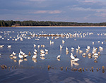 Migrating Snow Geese in Snow Goose Pool, Chincoteague National Wildlife Refuge, Assateague National Seashore, Chincoteague, VA