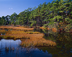 Marsh and Pine Forest in Fall, Chincoteague Island, Chincoteague, VA