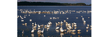 Migrating Snow Geese at Snow Goose Pool, Chincoteague National Wildlife Refuge, Assateague National Seashore, Chincoteague, VA