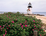 Roses (Rosa rugosa) in Bloom at Brant Point Light, Nantucket Harbor, Nantucket, MA