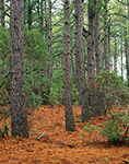 Loblolly Pine Forest, Bodie Island, Cape Hatteras National Seashore, Outer Banks, NC