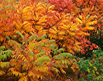 Staghorn Sumac in Fall, Berkshire Mountains, Shelburne, MA