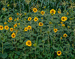 Sunflowers, Palmer, MA 