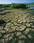 Otter Tracks in Dried Mud, Low Tide in Tidal Marsh, Willapa Bay, WA