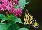 Monarch Butterfly (Danaus plexippus), Butterfly Place, Westford, MA