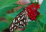 Gulf Fritillary, (Agraulis vanillae), Butterfly Place, Westford, MA