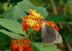 Great Southern White Butterfly (Ascia monuste phileta)
