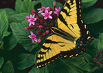 Eastern Tiger Swallowtail Butterfly (Papillio glaucus)