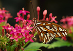 Gulf Fritillary Butterfly, (Agraulis vanillae)
