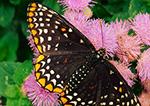 Baltimore Checkerspot Butterfly (Euphydryas phaeton), Westford, MA