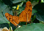Mating Julia Butterflies (Dryus julia), Magic Wings, Deerfield, MA