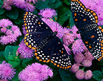 Baltimore Checkerspots (Euphdryas phaeton) on Ageratum