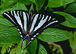Zebra Swallowtail Butterfly (Eurytides marcellus), Westford, MA