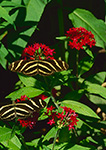 Zebra Longwing Butterflies (Heliconius charitonius) on Pentas spp.,  Butterfly Place, Westford, MA