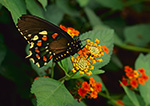 Pipevine Swallowtail Butterfly (Battus philenor), Westford, MA