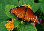 Queen Butterfly (Danaus gulippus berenice), Westford, MA