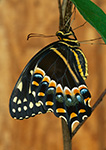 Palamedes Swallowtail Butterfly (Papilio palamedes)