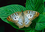 White Peacock Butterfly (Anartia jatrophae)