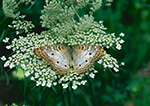 White Peacock Butterfly (Anartia jatrophae) and Queen Anne's Lace