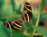 Mating Zebra Longwing Butterflies (Heliconius charitonius)