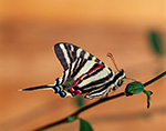 Zebra Swallowtail Butterfly (Eurytides marcellus)